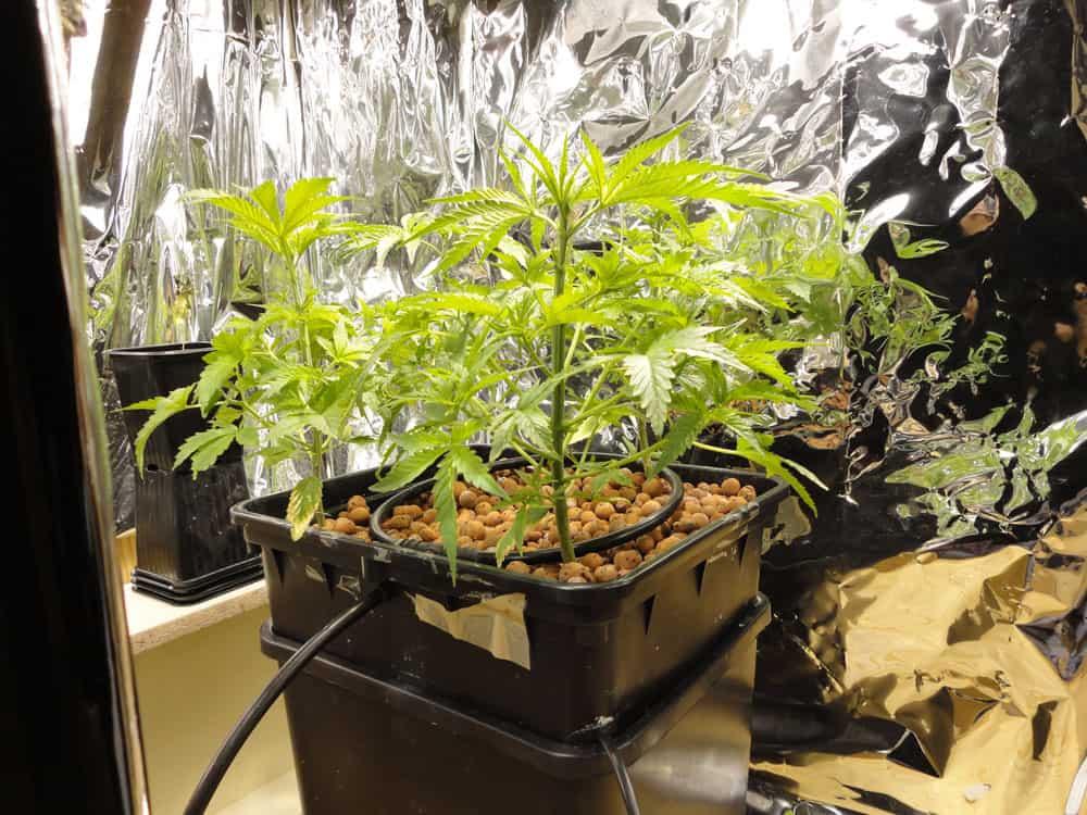 Растим марихуану на гидропонике марихуану вырастим на клумбах