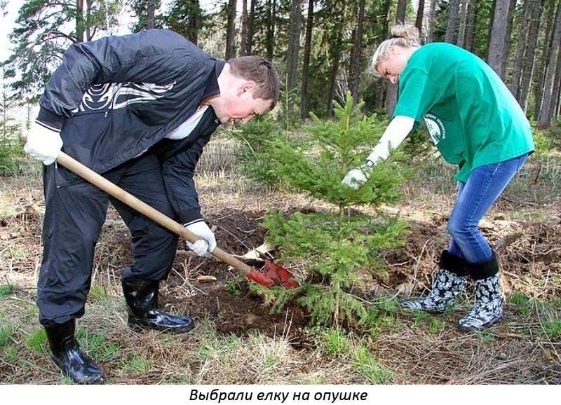 Посадка елки из леса осенью