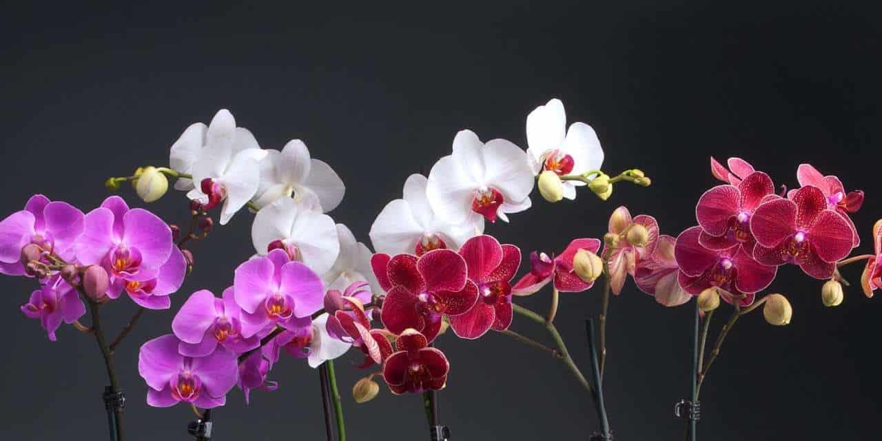 Когда цветут орхидеи в домашних условиях, в какое время года начинают и когда зацветет отсаженная детка