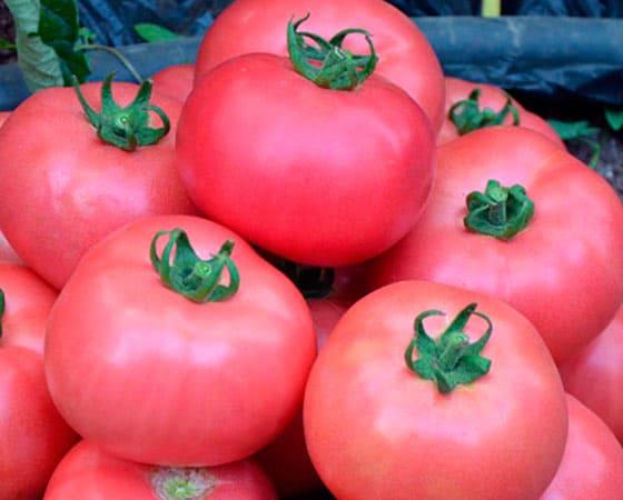 Томат Розовые щечки: отзывы, фото, урожайность