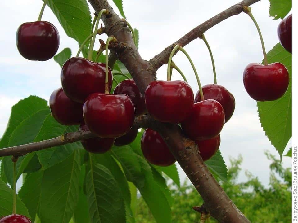 Черешня Ревна: описание сорта и опылители, выращивание и уход с фото