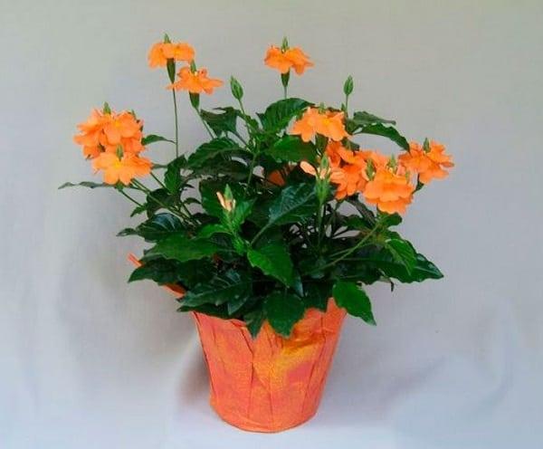 Кроссандра — уход и выращивание в домашних условиях
