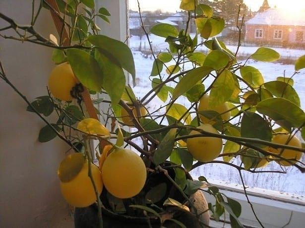 Что делать если лимонное дерево сбрасывает листья