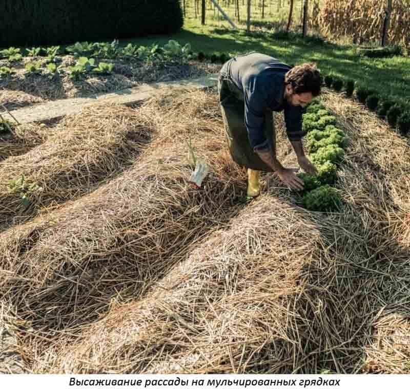 Мульчирование почвы соломой: виды и способы