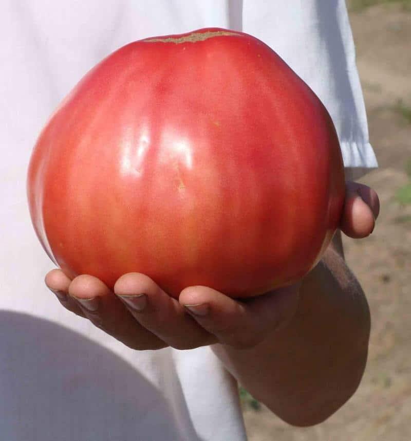 сорта крупноплодных помидоров с фото и описанием видишь