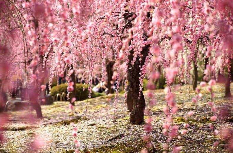 Волшебство весны: 20 ярких цветущих деревьев и распустившихся цветов