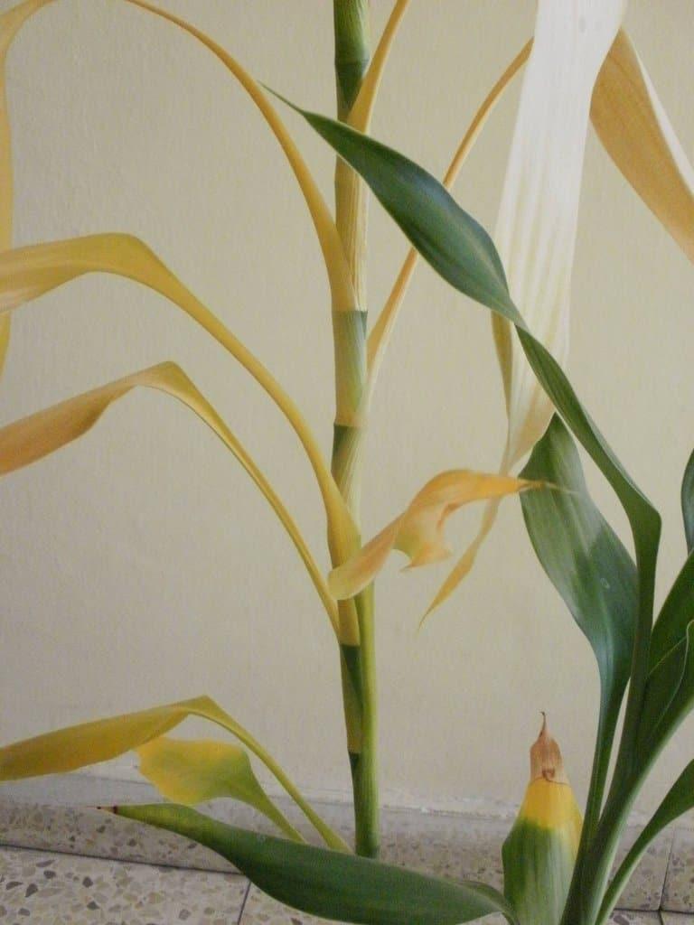 Почему желтеет бамбук комнатный