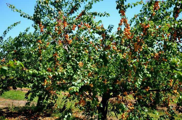 Описание сорта абрикоса Саратовский рубин, характеристика и опылители. Особенности сорта абрикоса «Саратовский рубин»