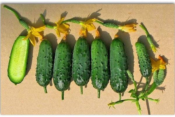 Огурец Зятек описание сорта и выращивание