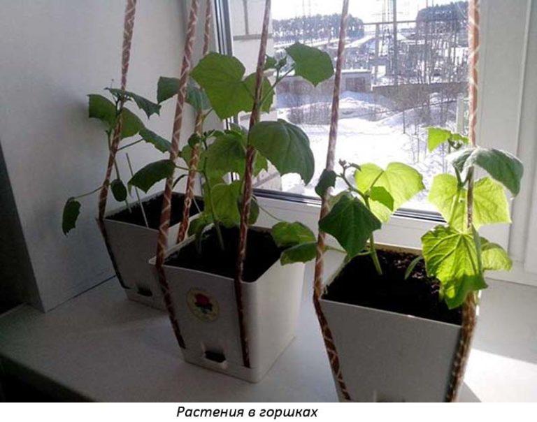 полив толстянки в домашних условиях зимой