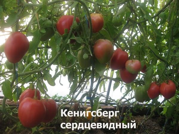 Томат Кенигсберг - фото, описание сорта, отзывы огородников