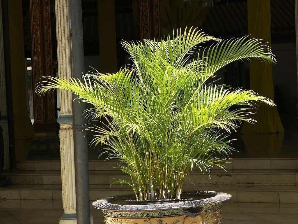 Все виды пальм фото и названия