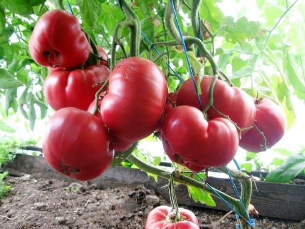 Томат Мясистый сахаристый: отзывы, фото, урожайность
