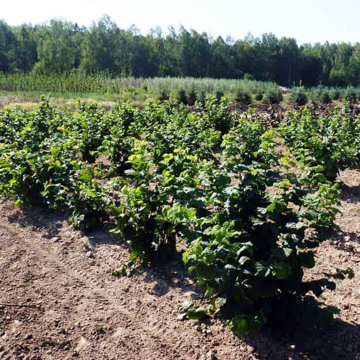 Лещина (фундук) в Сибири: выращивание, посадка и уход
