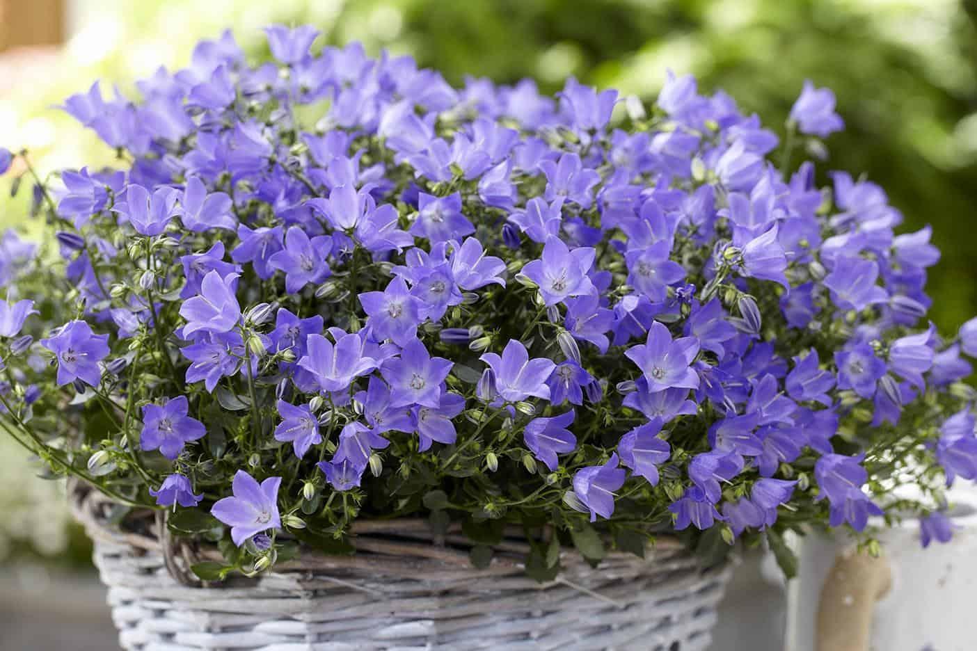 термина мускусная кампанелла цветок фото садовый рассудительность