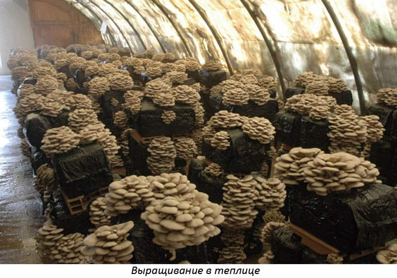 Изображение - Выращивание грибов вешенка 4-6