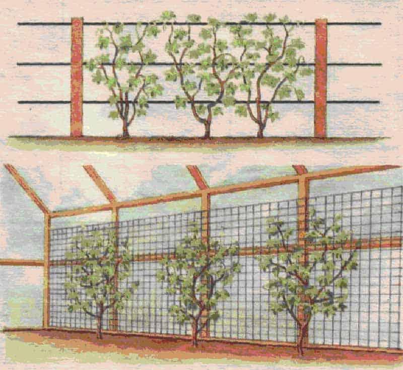 Выращивание ежевики на шпалере как подвязать правильно