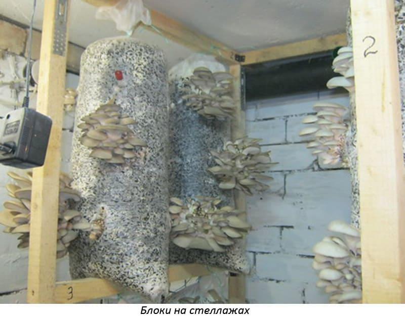 Изображение - Выращивание грибов вешенка 5-160