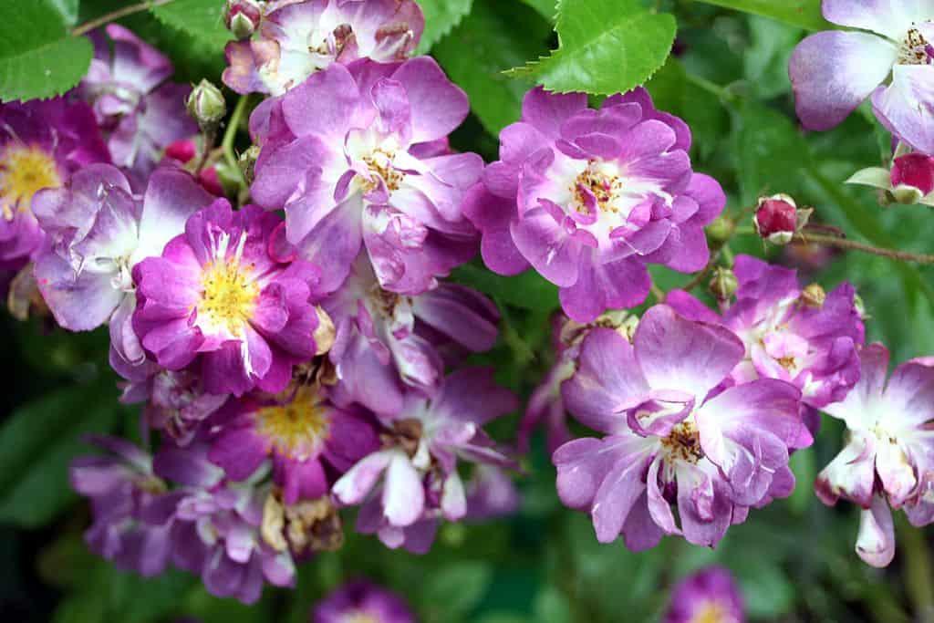 Роза без шипов 40 фото обзор сортов с названиями Описания растения Лакорн а также кустовых красных и розовых бесшипных роз