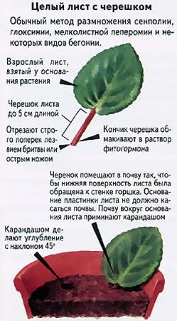 Примула: размножение листом, правила ухода