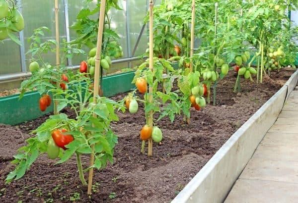 Подвязка томатов в теплице из поликарбоната