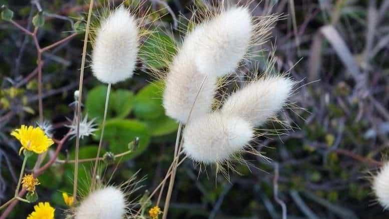 Трава заячий хвостик