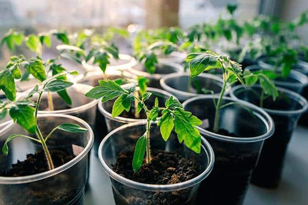 Как и когда высаживать рассаду помидор в открытый грунт