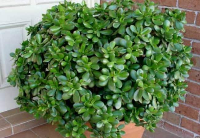Крассула  уход за любимым растением