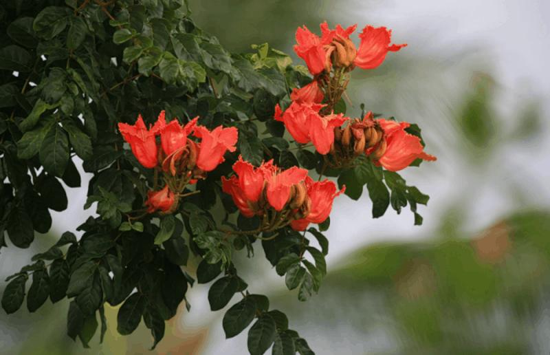 дерево с большими красными цветами фото републикация фото-, видео
