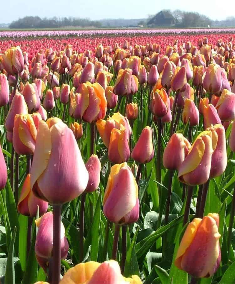 муки разновидность тюльпанов фото для
