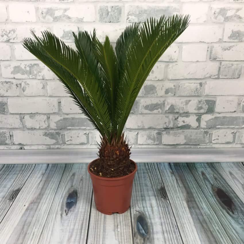 Цветок цикас фото уход в домашних условиях