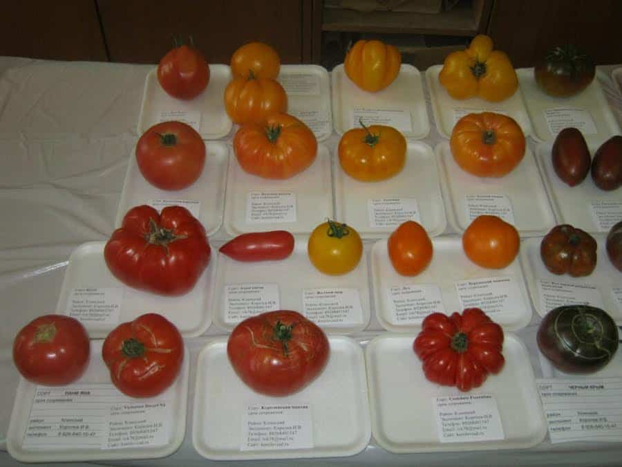 Проверенные семена томатов от валерия медведева каталог