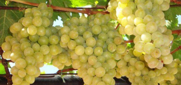 Лучший виноград для Подмосковья — наиболее популярные сорта с описанием