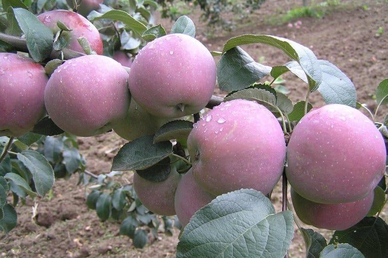 Имант яблоня описание сорта и фото