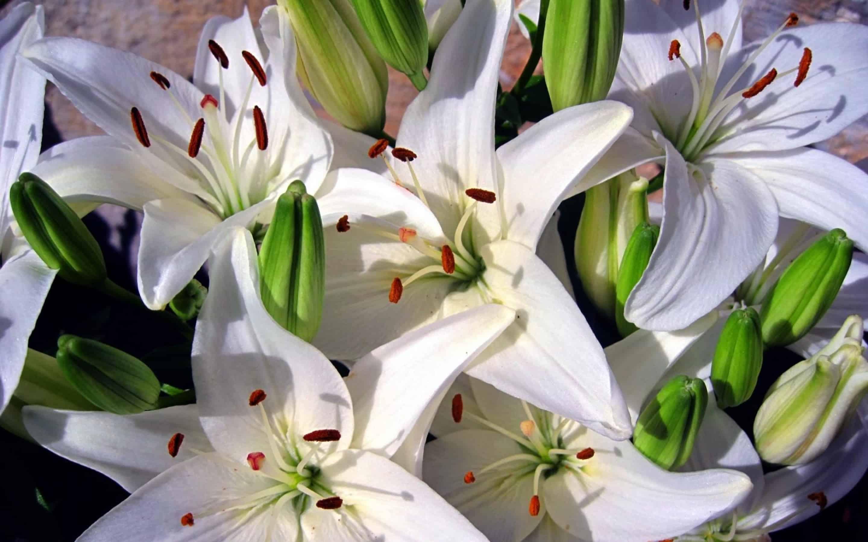 Королевская лилия цветок фото