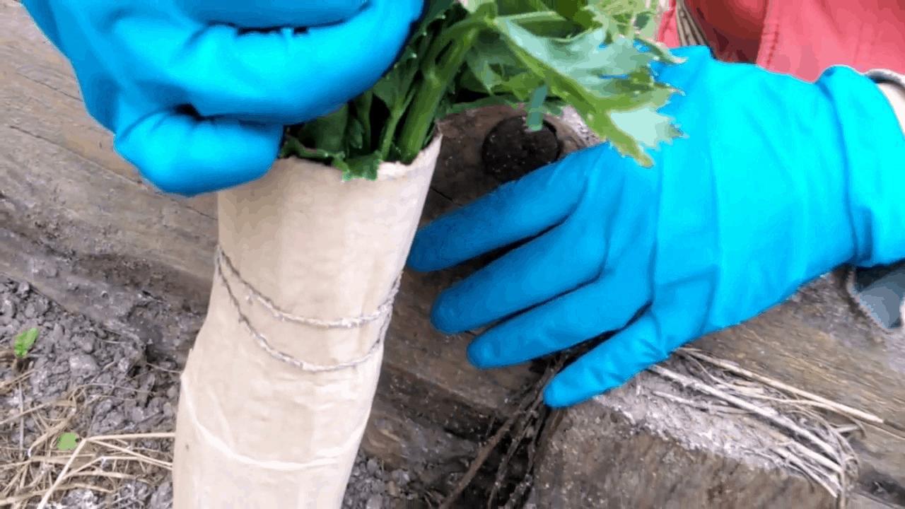 Черешковый сельдерей когда убирать и как хранить