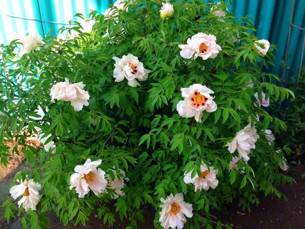 Выращиваем древовидный пион – укрытие на зиму как залог цветения