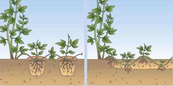Клематис Тайга (Clematis Taiga): описание и фото гибридного сорта особенности посадки, размножения, ухода и обрезки