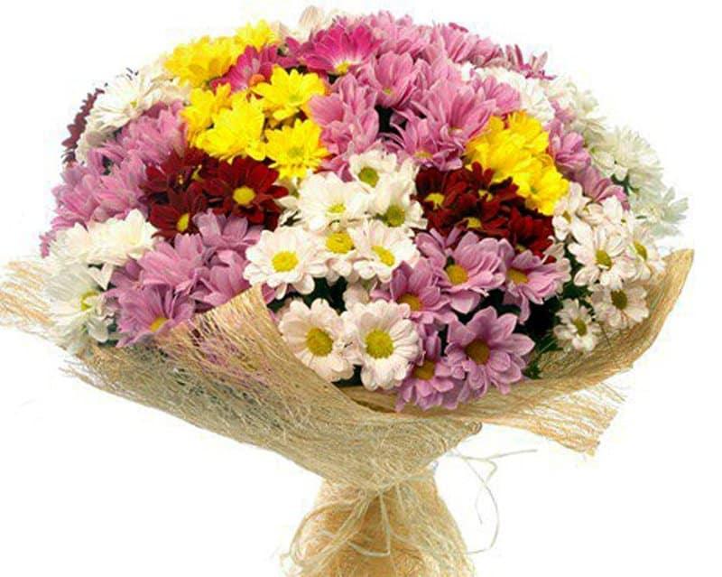 Хризантема куст бакарди