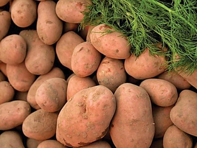Описание сорта картофеля Вектор особенности выращивания и урожайность
