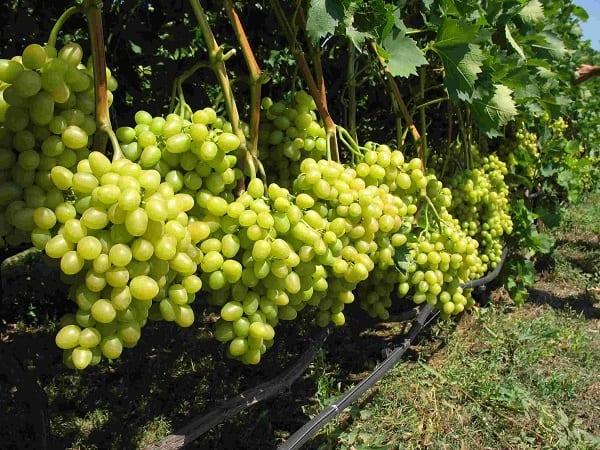 виноград сорт спонсор отзывы